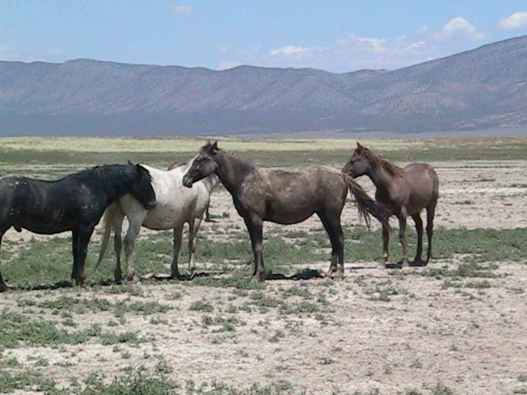 Utah Mustangs. (c) 2009 Irene Lopez. Used with permission.
